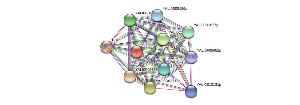 SPT5 protein (Yarrowia lipolytica) - STRING interaction network