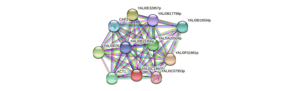 XP_501835.1 protein (Yarrowia lipolytica) - STRING interaction network