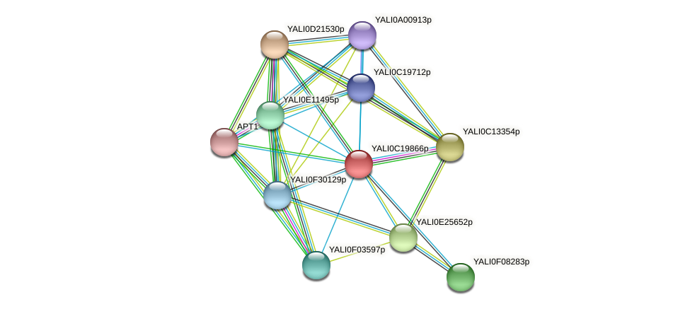 XP_502030.1 protein (Yarrowia lipolytica) - STRING interaction network