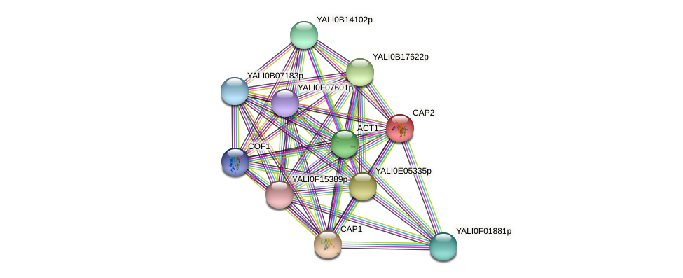 CAP2 protein (Yarrowia lipolytica) - STRING interaction network