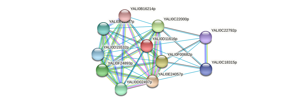 XP_502707.1 protein (Yarrowia lipolytica) - STRING interaction network