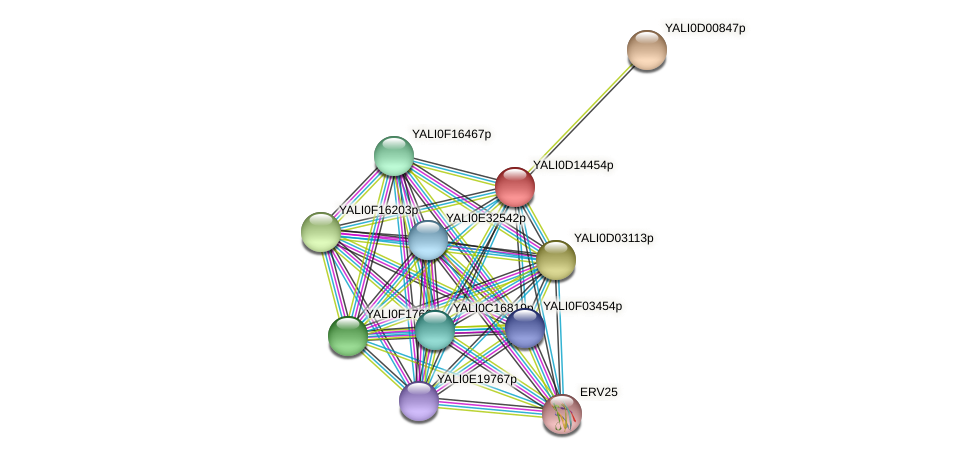 XP_502822.1 protein (Yarrowia lipolytica) - STRING interaction network