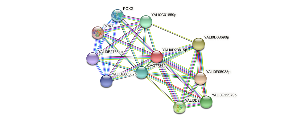 XP_503206.1 protein (Yarrowia lipolytica) - STRING interaction network