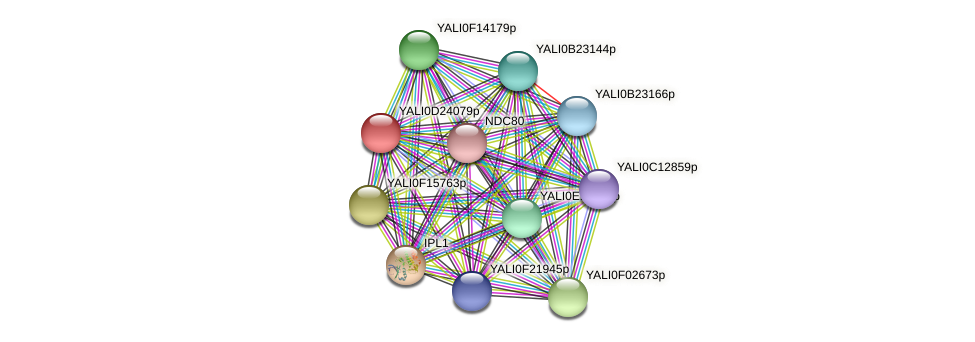 XP_503216.1 protein (Yarrowia lipolytica) - STRING interaction network