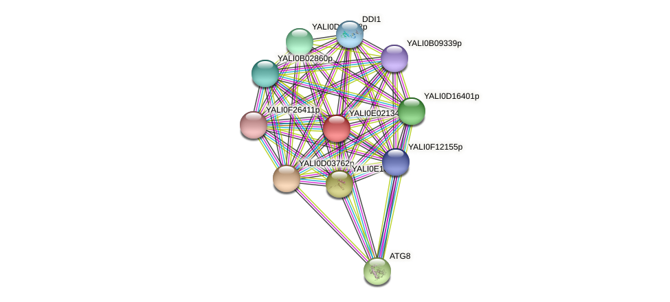 XP_503446.1 protein (Yarrowia lipolytica) - STRING interaction network
