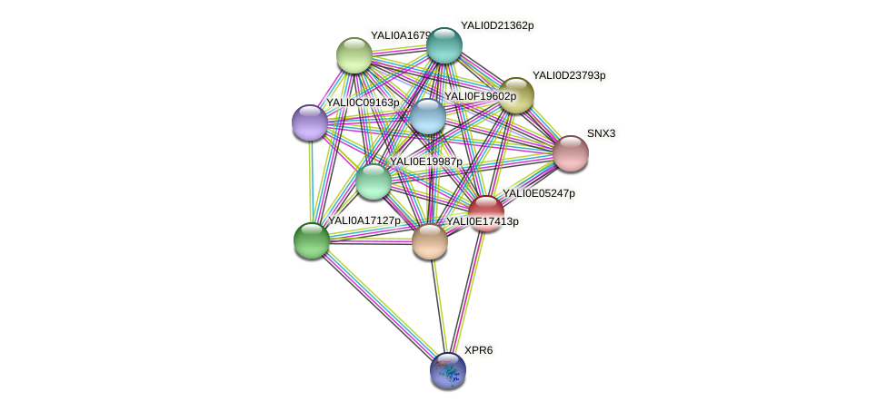 XP_503576.1 protein (Yarrowia lipolytica) - STRING interaction network