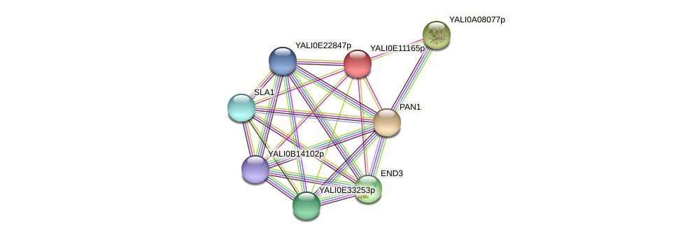 XP_503811.2 protein (Yarrowia lipolytica) - STRING interaction network