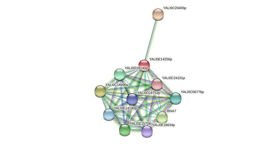 XP_503936.1 protein (Yarrowia lipolytica) - STRING interaction network