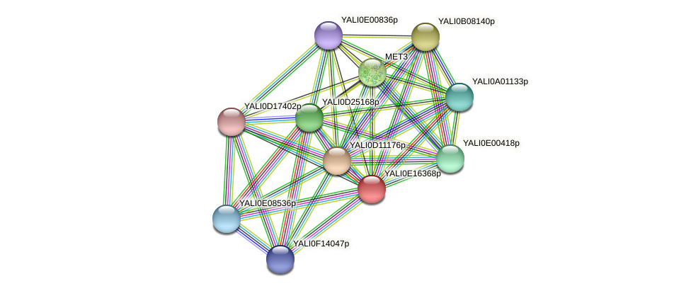 XP_504018.1 protein (Yarrowia lipolytica) - STRING interaction network