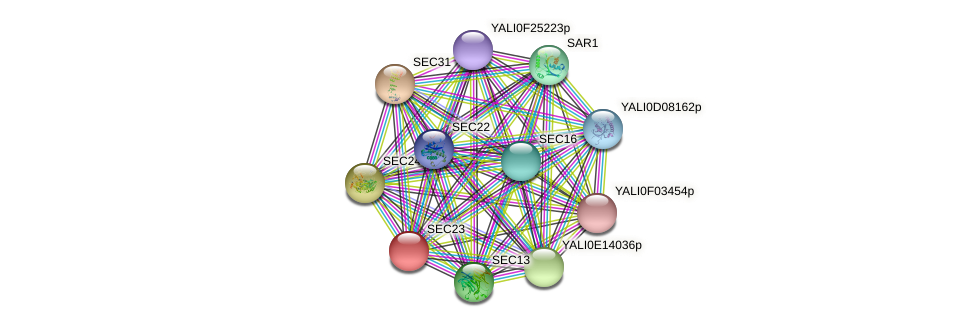SEC23 protein (Yarrowia lipolytica) - STRING interaction network