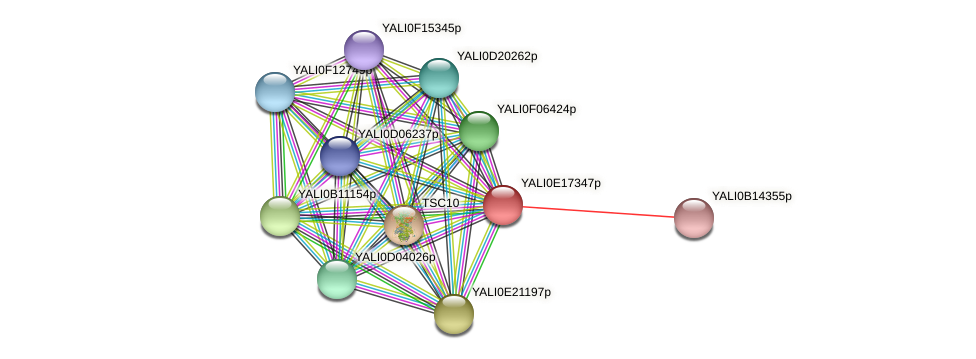 XP_504059.1 protein (Yarrowia lipolytica) - STRING interaction network
