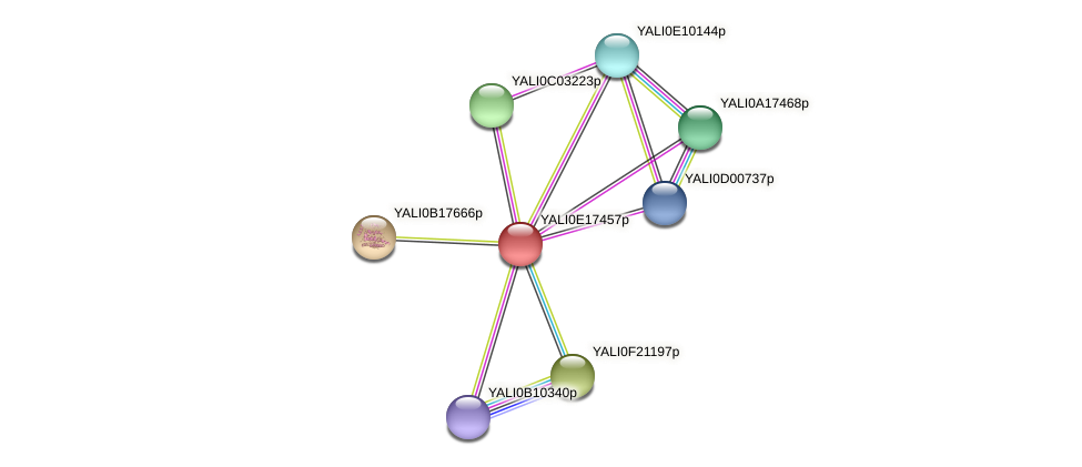 XP_504064.1 protein (Yarrowia lipolytica) - STRING interaction network