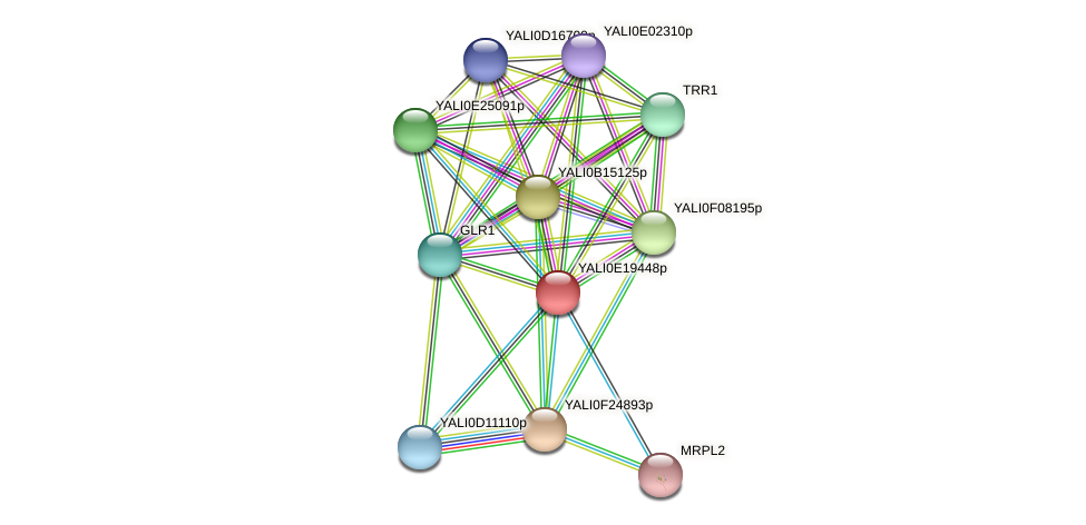 XP_504146.1 protein (Yarrowia lipolytica) - STRING interaction network