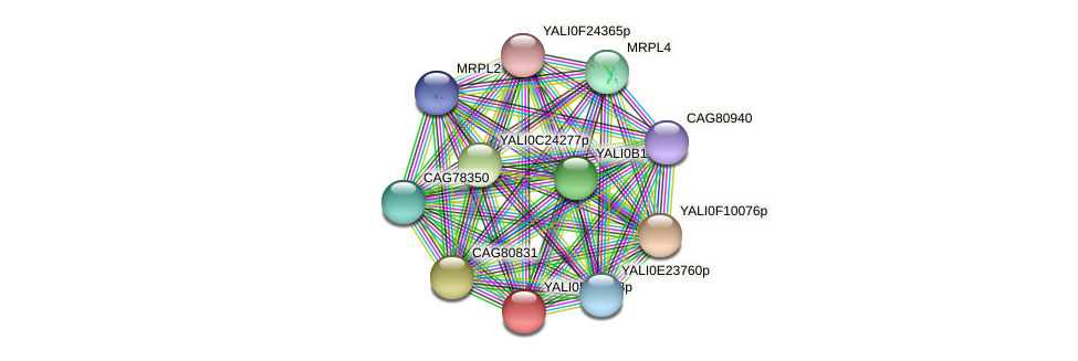 XP_504189.1 protein (Yarrowia lipolytica) - STRING interaction network