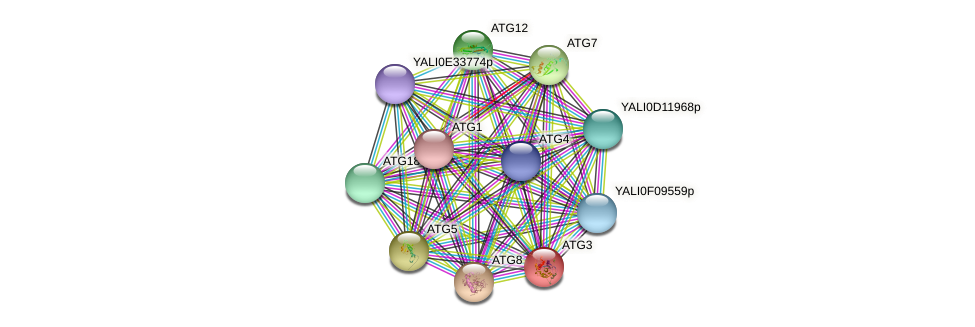 ATG3 protein (Yarrowia lipolytica) - STRING interaction network