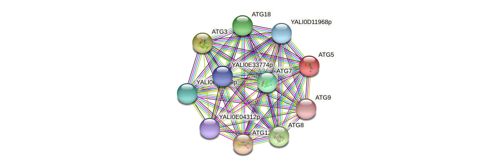 ATG5 protein (Yarrowia lipolytica) - STRING interaction network