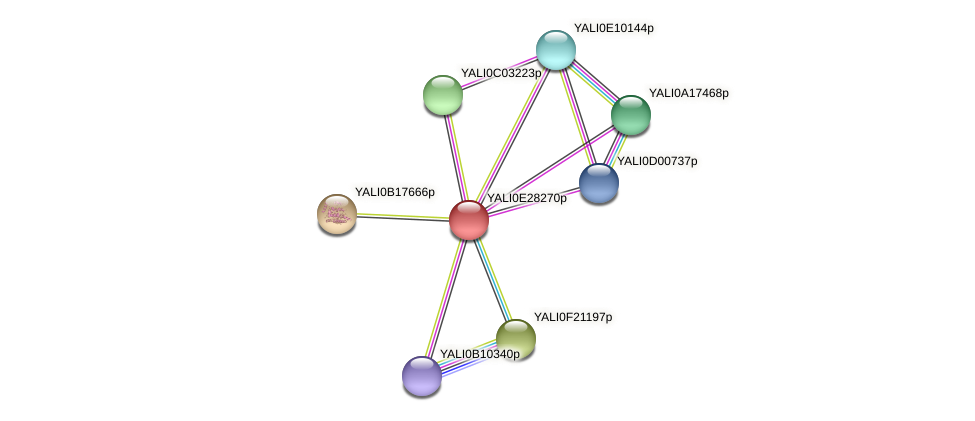 XP_504499.1 protein (Yarrowia lipolytica) - STRING interaction network