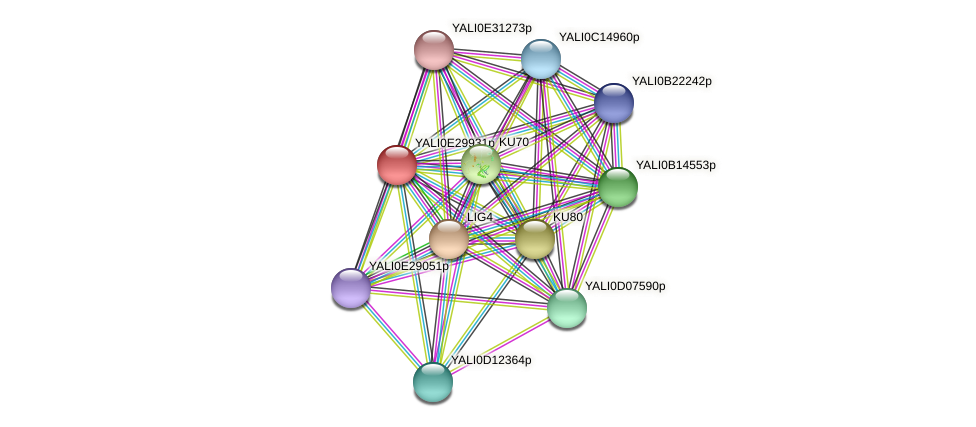 XP_504572.1 protein (Yarrowia lipolytica) - STRING interaction network