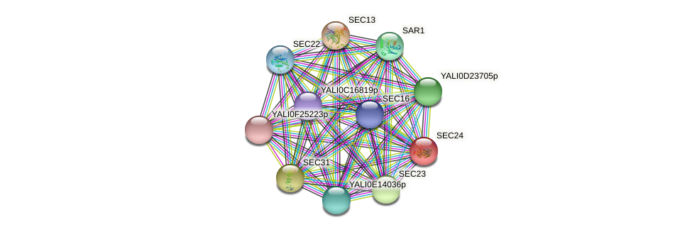 SEC24 protein (Yarrowia lipolytica) - STRING interaction network