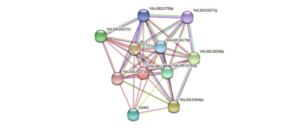 XP_505389.1 protein (Yarrowia lipolytica) - STRING interaction network