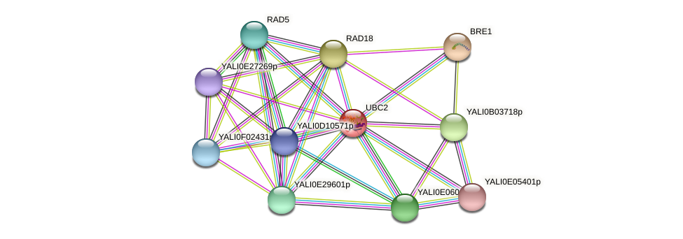 UBC2 protein (Yarrowia lipolytica) - STRING interaction network