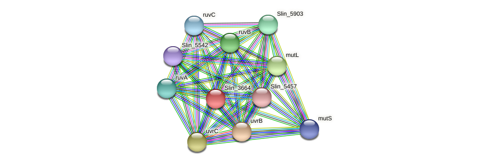 Slin_3664 protein (Spirosoma linguale) - STRING interaction network