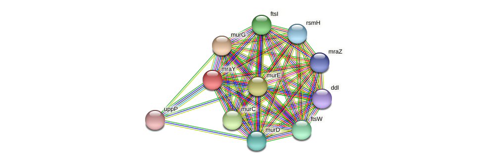 mraY protein (Alcaligenes faecalis) - STRING interaction network