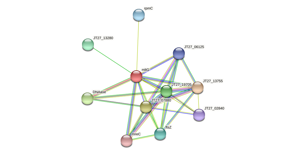 mltG protein (Alcaligenes faecalis) - STRING interaction network