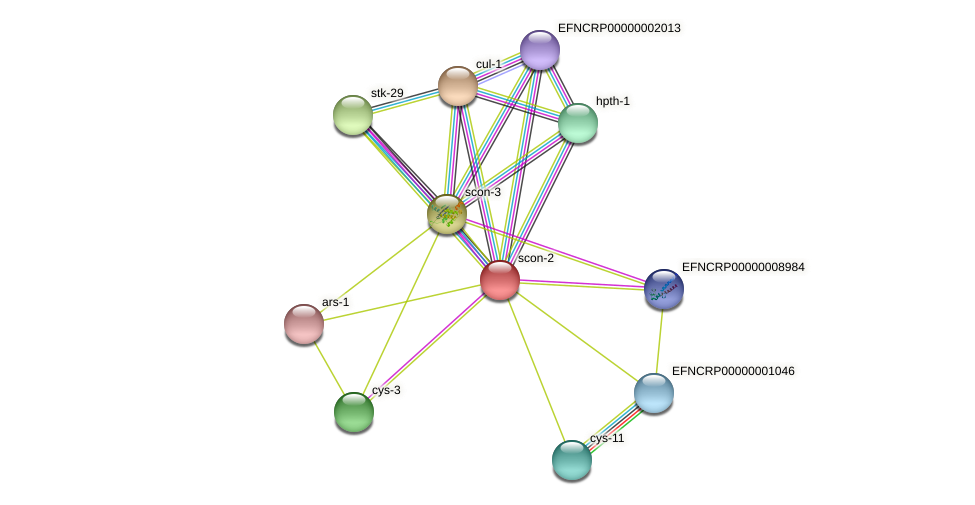 scon-2 protein (Neurospora crassa) - STRING interaction network