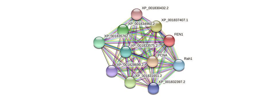 FEN1 protein (Coprinopsis cinerea) - STRING interaction network