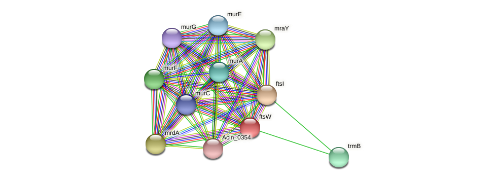 ftsW protein (Acidaminococcus intestini) - STRING interaction network