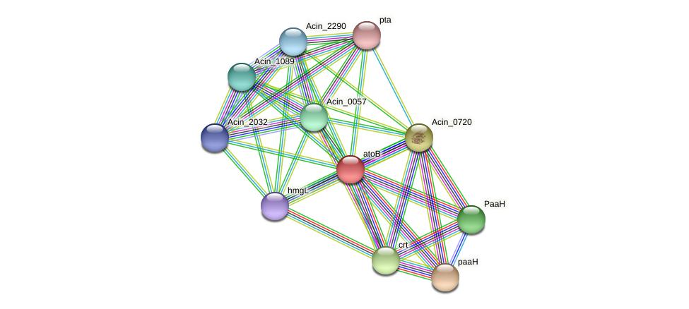 atoB protein (Acidaminococcus intestini) - STRING interaction network