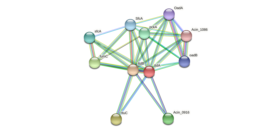 ttdA protein (Acidaminococcus intestini) - STRING interaction network