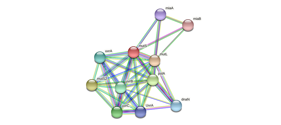 mutS protein (Acidaminococcus intestini) - STRING interaction network