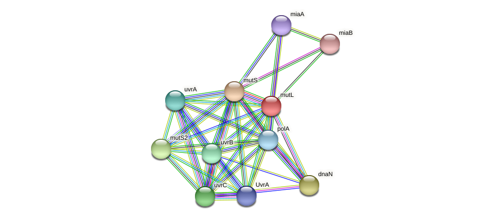 mutL protein (Acidaminococcus intestini) - STRING interaction network