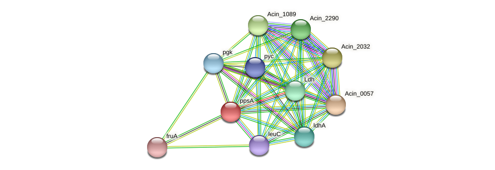ppsA protein (Acidaminococcus intestini) - STRING interaction network