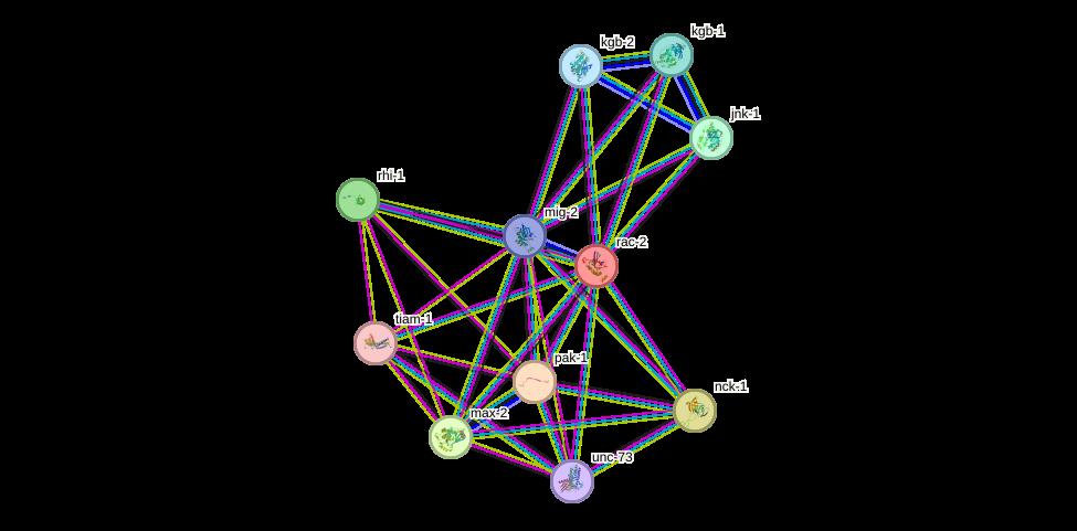 rac-2 protein (Caenorhabditis elegans) - STRING interaction