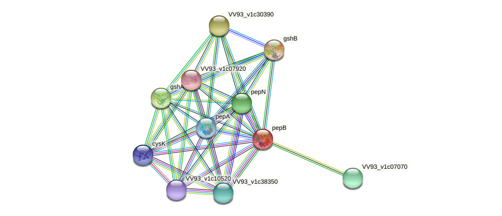 pepB protein (Vibrio vulnificus) - STRING interaction network