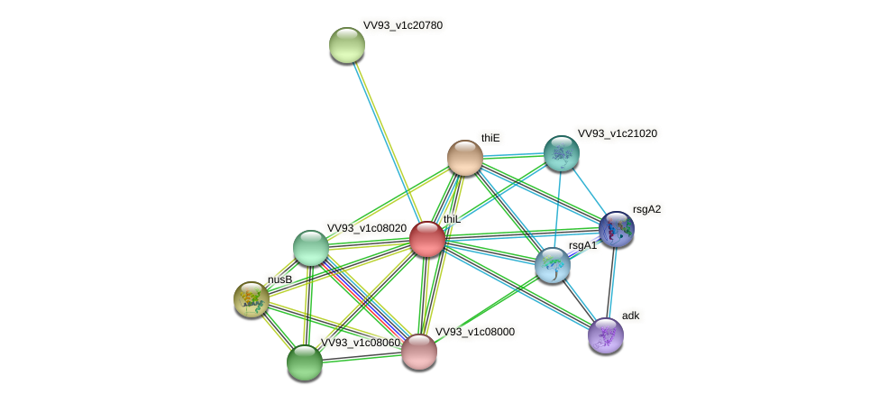 thiL protein (Vibrio vulnificus) - STRING interaction network