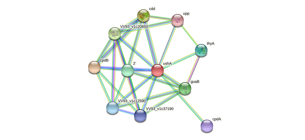 ushA protein (Vibrio vulnificus) - STRING interaction network