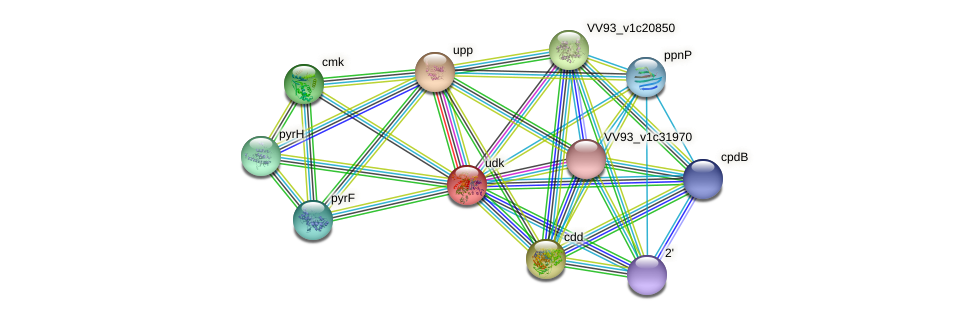 udk protein (Vibrio vulnificus) - STRING interaction network