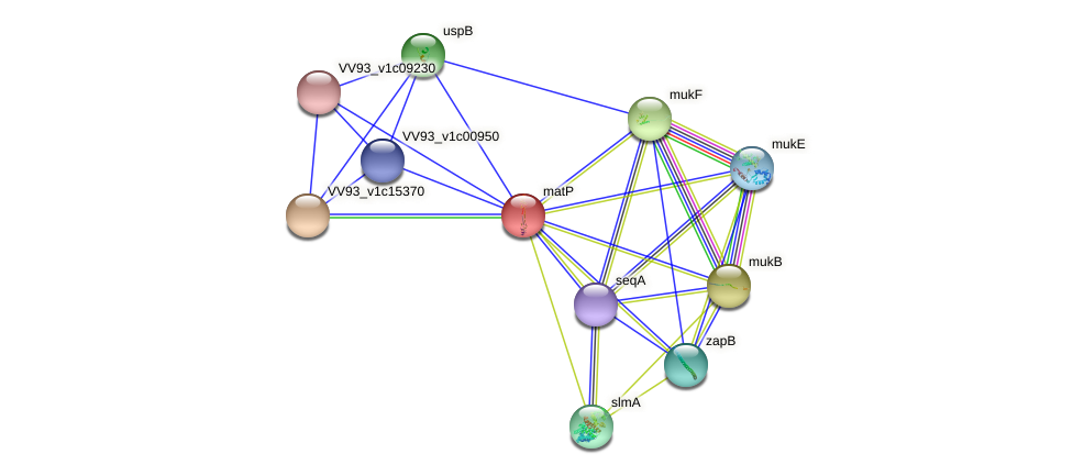 matP protein (Vibrio vulnificus) - STRING interaction network