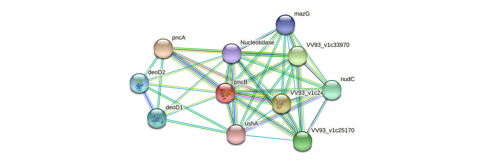 pncB protein (Vibrio vulnificus) - STRING interaction network
