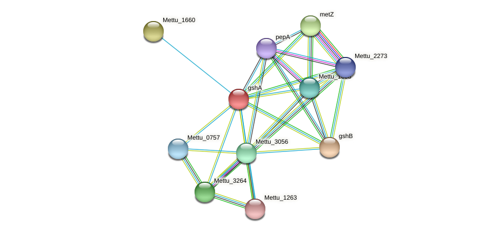 gshA protein (Methylobacter tundripaludum) - STRING interaction network