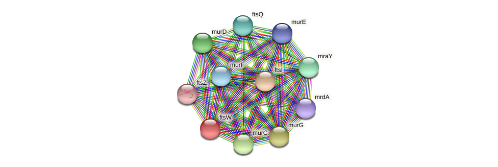 ftsW protein (Methylobacter tundripaludum) - STRING interaction network
