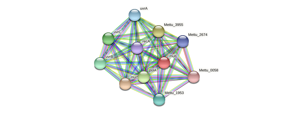 mutL protein (Methylobacter tundripaludum) - STRING interaction network