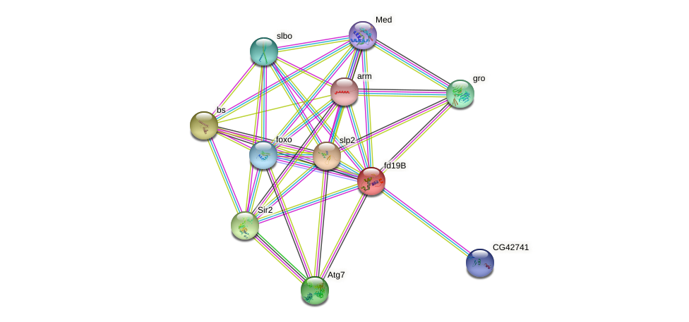fd19B protein (fruit fly) - STRING interaction network