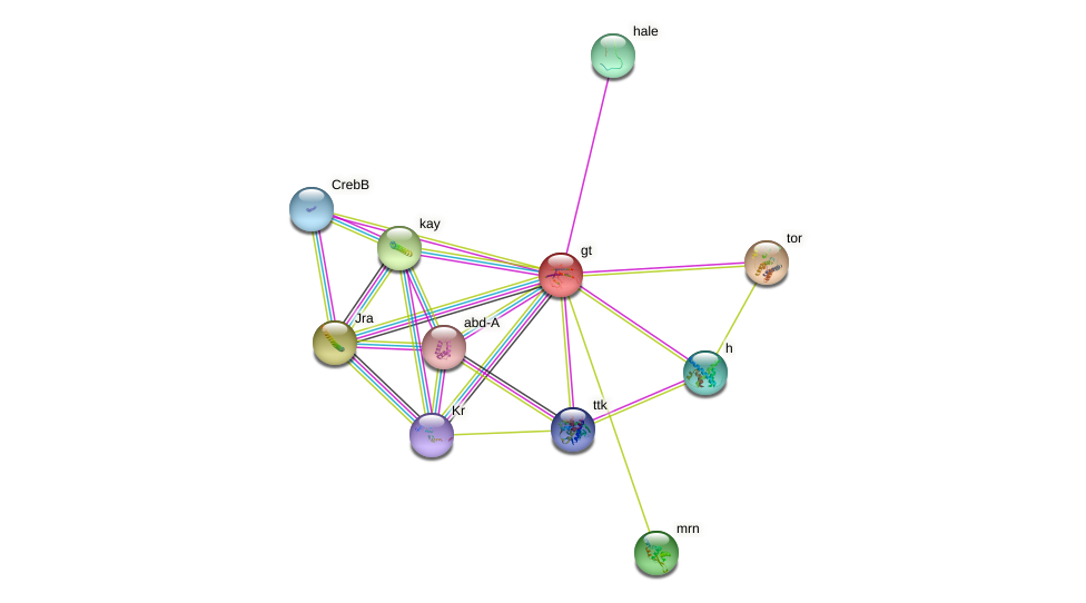 gt protein (fruit fly) - STRING interaction network