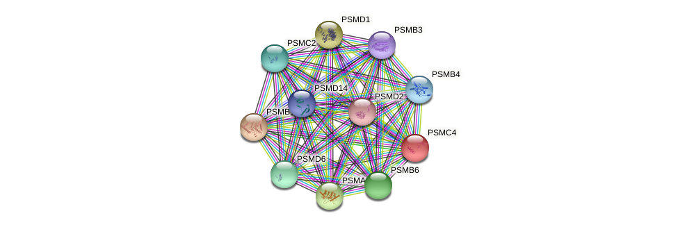 PSMC4 protein (Latimeria chalumnae) - STRING interaction network