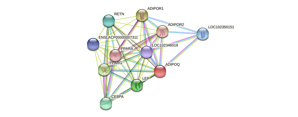 ADIPOQ protein (Latimeria chalumnae) - STRING interaction network